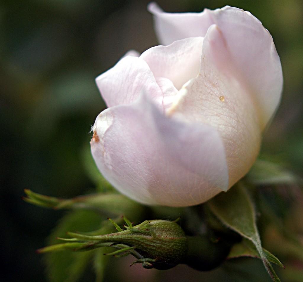 Bild von einer Rose